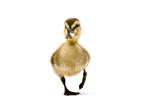 A Mallard Duckling  Anas Platyrhynchos