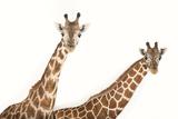 A Reticulated Giraffe and an Endangered Rothschild Giraffe