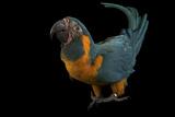 A Critically Endangered Blue-Throated Macaw  Ara Glaucogularis