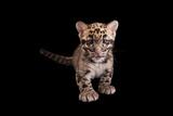 A Vulnerable  Nine-Week-Old Clouded Leopard Cub  Neofelis Nebulosa