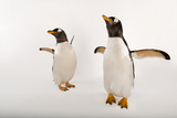A Pair of Gentoo Penguins  Pygoscelis Papua