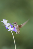 Black-Chinned Hummingbird Feeding