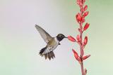 Black-Chinned Hummingbird Adult Male Feeding