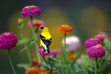 American Goldfinch Male on Zinnias in Garden  Marion  Il