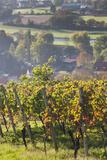 Germany  Baden-Wurttemburg  Black Forest  Gengenbach  Hillside Vineyards in Fall