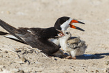 Black Skimmers at Nesting Colony