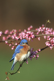 Eastern Bluebird Male in Redbud Tree in Spring Marion County  Illinois