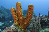 Convoluted Barrel Sponge, Hol Chan Marine Reserve, Belize Papier Photo par Pete Oxford