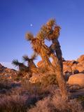 California  Joshua Tree  Moon and Monzonite Granite Boulders  Early Morning Near Jumbo Rocks