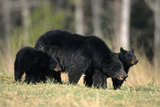 Black Bear Female with Cubs Two  Great Smoky Mountains National Park  Tennessee