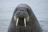 Arctic  Svalbard  Nordaustlandet  Torellneset Close Up of Walrus in Water