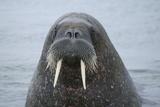 Arctic, Svalbard, Nordaustlandet, Torellneset. Close Up of Walrus in Water Papier Photo par Aliscia Young