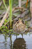 Common Snipe Adult Feeding in Marsh