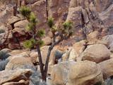 California  Joshua Tree National Park  Lone Joshua Tree Grows Among Monzonite Granite Boulders