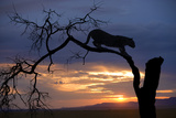 Africa  Botswana  Savuti Game Reserve Leopard on Branch at Sunset