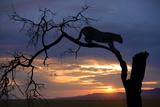Africa  Botswana  Savuti Game Reserve Leopard on Branch at Sunset