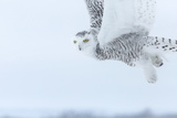 Canada  Ontario  Barrie Close-Up of Snowy Owl in Flight