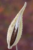 Canada  Quebec  Mount St-Bruno Conservation Park Milkweed Seedpod Detail