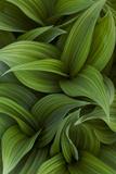 Canada, Quebec, Yamaska National Park. Green False Hellebore Plant Papier Photo par Jaynes Gallery