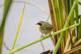 Common Yellowthroat Male in Freshwater Marsh Habitat