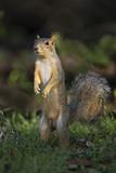 Eastern Fox Squirrel Watching for Predators