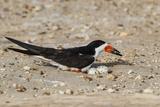 Black Skimmer on Nest