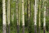 Aspens  Muleshoe  Banff National Park  Alberta  Canada