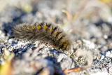 Canada  Nunavut  Baffin Island  Kekerten Island Arctic Woolly Bear Caterpillar