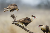 Crested Caracara Perched
