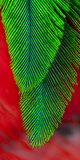 Beautiful Feathers of the Resplendent Quetzal