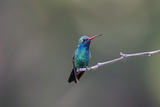 Broad-Billed Hummingbird Male Perched