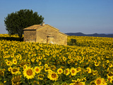 France  Provence  Old Farm House in Field of Sunflowers