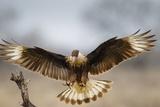 Crested Caracara Landing