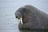 Arctic  Svalbard  Nordaustlandet  Torellneset Close Up of Walrus in Water