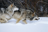 Gray Wolves Running in Snow in Winter  Montana