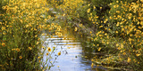 USA  Florida  Corkscrew Swamp Regional Ecosystem  Fall Sunflowers