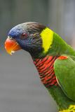 Singapore Colorful Australian Lorikeet