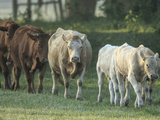 Mixed Cattle Coming for Water  Florida