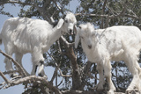 Morocco, Road to Essaouira, Goats Climbing in Argan Trees Papier Photo par Emily Wilson