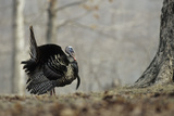Eastern Wild Turkey Gobbler Strutting  Stephen A Forbes State Park  Marion County  Illinois