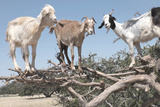 Morocco  Road to Essaouira  Goats Climbing in Argan Trees