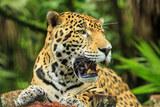 Jaguar  Belize City  Belize  Central America