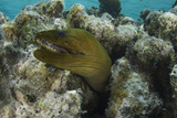 Green Moray  Lighthouse Reef  Atoll  Belize