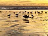 USA  California  Encinitas Sea Gulls on Moonlight Beach at Sunset