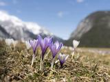 Spring Crocus in Full Bloom in the Eastern Alps Austria  Tyrol