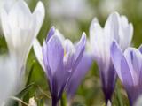 Spring Crocus in Full Bloom in the Eastern Alps Germany  Bavaria