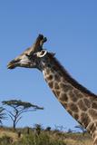 South Africa  Durban  Tala Game Reserve Giraffe  Head Detail
