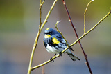 The Audubon's Warbler Is a Small New World Warbler