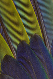 Jenday Conure Wing Feather Detail