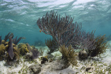Porous Sea Rods  Hol Chan Marine Reserve  Belize